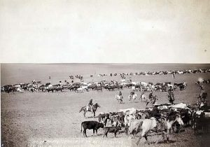 cattle drive pic